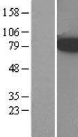 NBL1-07262 - ACSL3 Lysate