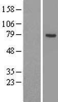 NBL1-07263 - ACSL3 Lysate