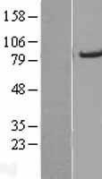 NBL1-07266 - ACSL5 Lysate