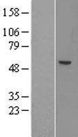 NBL1-07267 - ACSM1 Lysate