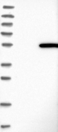 NBP1-85979 - ACTL7A