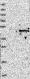NBP1-85398 - ACTL8