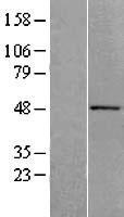 NBL1-07284 - ACTR10 Lysate