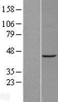 NBL1-07285 - ACTR1A Lysate