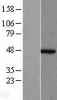 NBL1-07287 - ACTR2 Lysate