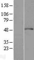 NBL1-07288 - ACTR3 Lysate