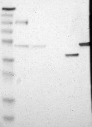 NBP1-89005 - ACTRT2 / ARP-T2