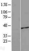 NBL1-07294 - ACTRT2 Lysate