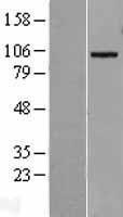 NBL1-07307 - ADAM19 Lysate