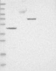 NBP1-85415 - ADAM2 / FTNB