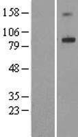 NBL1-07312 - ADAM32 Lysate