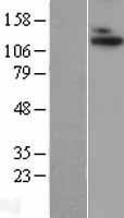 NBL1-07315 - ADAMTS10 Lysate