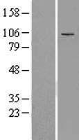 NBL1-07317 - ADAMTS5 Lysate