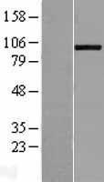 NBL1-07318 - ADAMTS8 Lysate
