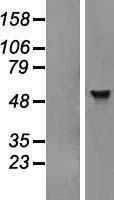 NBL1-07323 - ADAT1 Lysate