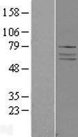 NBL1-07326 - ADCK4 Lysate