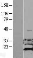 NBL1-07340 - ADI1 Lysate