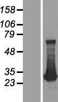 NBL1-07348 - ADO Lysate