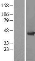 NBL1-07362 - ADRM1 Lysate