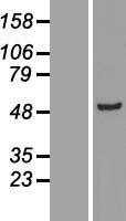 NBL1-07365 - ADSSL1 Lysate