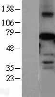 NBL1-13137 - AF9 Lysate