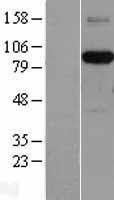 NBL1-07367 - AFAP Lysate