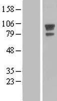 NBL1-07368 - AFAP Lysate
