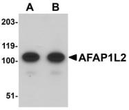 NBP1-77358 - AFAP1L2