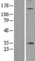 NBL1-07373 - AFF4 Lysate