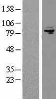 NBL1-07374 - AFG3L2 Lysate