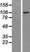 NBL1-07378 - AGBL2 Lysate