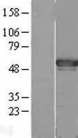 NBL1-11706 - AGFG2 Lysate