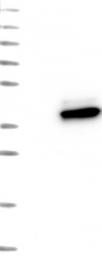 NBP1-82080 - Agmatinase