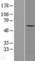 NBL1-12651 - AGPAT7 Lysate