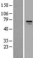 NBL1-07389 - AGPS Lysate