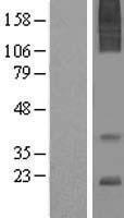 NBL1-07399 - AGTRAP Lysate