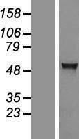NBL1-07400 - AGXT2L1 Lysate