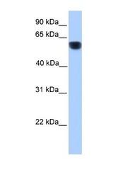 NBP1-62405 - CYP1A1
