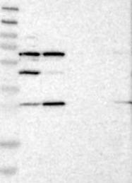 NBP1-89195 - Ah receptor repressor (AhRR)