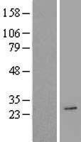 NBL1-07406 - AICDA Lysate