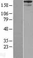 NBL1-07426 - AKAP12 Lysate