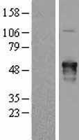 NBL1-07429 - AKAP5 Lysate
