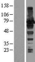 NBL1-07430 - AKAP8L Lysate