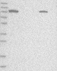 NBP1-89414 - ALDH1L1 / FTHFD