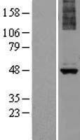 NBL1-07463 - ALG1 Lysate