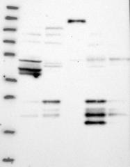 NBP1-90187 - Hepatopoietin