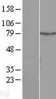 NBL1-07489 - ALS2CR11 Lysate