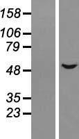 NBL1-11803 - ALS2CR15 Lysate