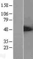 NBL1-07490 - ALS2CR2 Lysate
