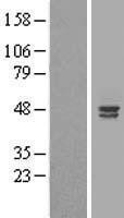 NBL1-07491 - ALS2CR4 Lysate